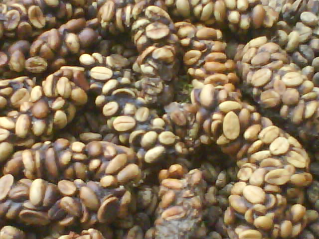 Civet coffee - photo#7